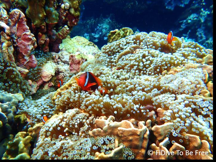 marine life tomato clownfish
