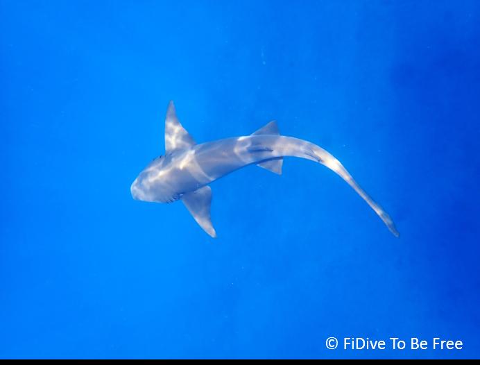 marine life nurse shark