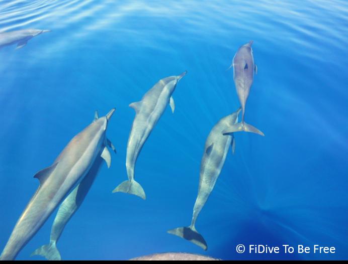 marine life common bottle nose dolphin