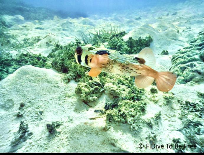 marine life balloonfish