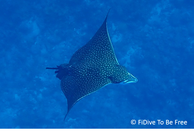 marine life spotted eagle ray