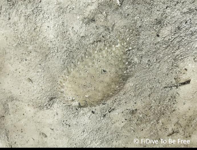 marine life flatfish