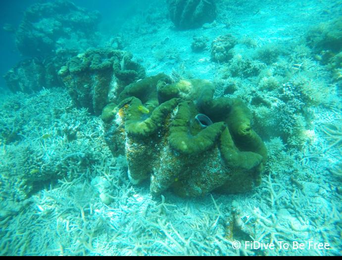 marine life giant clam