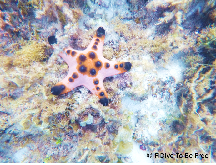 marine life chocolate chip sea star