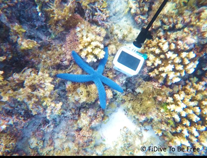 marine life blue sea star