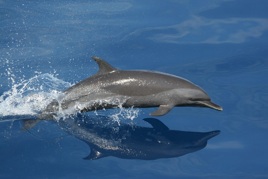 dolphin, swimming, jumping