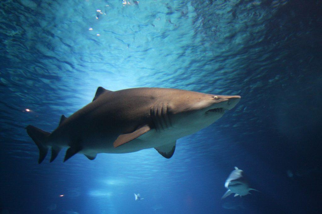 shark, sea, ocean