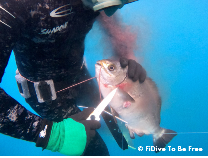 FiDive Spearfishing Ikejime Humane Killing